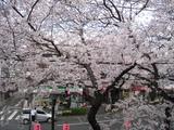 中野通り桜(080327自宅2Fより)