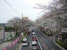 中野通り桜まつり2013(3.20)新井小前歩道橋