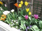 花壇(チューリップ2)2011.4.22