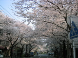 05.04.08-2.JPG-sakura-haru