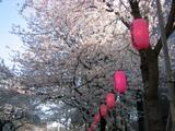 桜並木の提灯-2[2006]