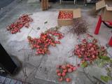 「柿」収穫(2008.12.21-実選別)