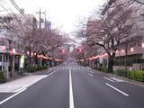 桜-2010(中野通り[南]03.29)