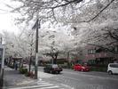 29)桜吹雪1