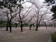桜-2010(中野[哲学堂公園]04.07)