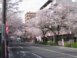 中野通り桜(080404南方面)