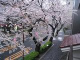 桜-2010(中野通り[自宅2F北]04.05)