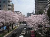 桜2011(中野通り:薬師公園歩道橋)4.10
