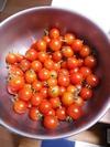 ミニトマト2015(収穫)