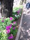 中野通りツツジ2012(5分咲き)4.28