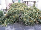 柿(2008.11.09-1)