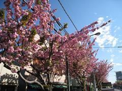 桜並木(千川通り:八重桜2009.04.15-2)