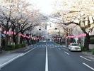 中野通り桜2012(南)4.7