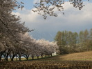 桜(20150417)蕪並木