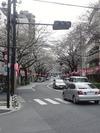 中野通り桜まつり2013(3.20)新井小前交差点南方向