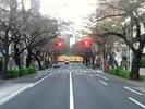 中野通り桜2012(南)11.1