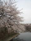 桜(20150410)牛池南