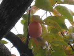 柿の木(2009.11)唯一