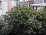 柿-2010(自宅10.24)