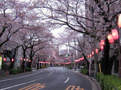 中野通り「桜」 2009.04.02-n