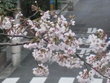 桜-2011(中野通り:アップ)4.05