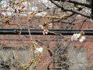 2013中野通り桜まつり(開花3.18)松が丘