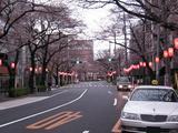 桜-2010(中野通り[北]03.27)