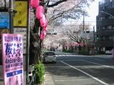 桜2007[桜まつり看板]