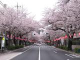 桜-2010(中野通り[南]04.09)