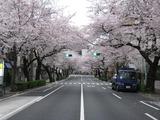 桜2011(中野通り:南)4.9