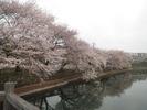 桜(20150410)牛池北