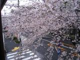 桜-2010(中野通り[自宅2F南]04.05)