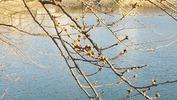 牛池(20140401)桜「つぼみ」