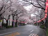 中野通り桜(080331北方面)