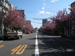 桜並木(千川通り:八重桜2009.04.15-1)