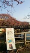 牛池桜(20140410)開花夜桜まつり予告