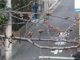 桜-2011(中野通り:アップ)3.29