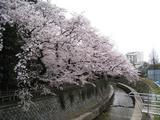 哲学堂公園「桜」(2009.04.05下田橋)