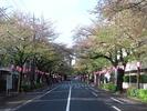 中野通り桜まつり2013(4.7)南
