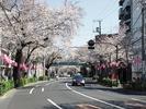 中野通り桜2012(片山橋)4.8