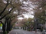 桜2011(中野通り:北)4.16