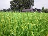 市貝(20110814)稲