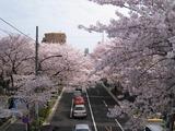 桜2011(中野通り:新井小前歩道橋)4.10