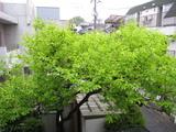 柿(080406花の芽も出てきた[全景])