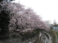 桜-2010(中野[哲学堂公園:妙正寺川]04.07)