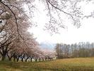 蕪桜並木(20160410)南アルプス