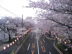 桜-2010(中野通り[新井小前歩道橋]04.06)
