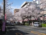 中野通り桜(080329南方面)