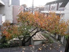 柿の木(2009.11)全景