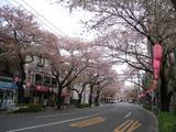 中野通り桜(080407北方面)
